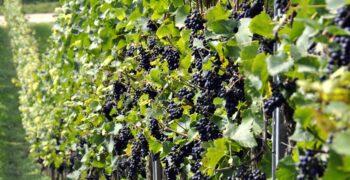 grapes-957324_1280