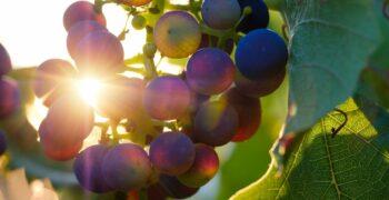 grapes-3550742_1280